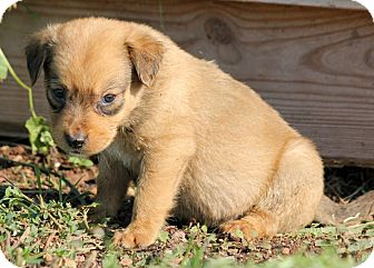 Spaniel (Unknown Type)/Chihuahua Mix Puppy for adoption in Pennigton, New Jersey - Leola