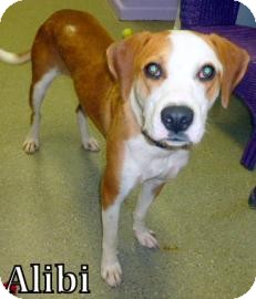 Bulldog/Boxer Mix Dog for adoption in Georgetown, South Carolina - Alibi