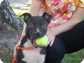 Labrador Retriever Mix Dog for adoption in Gainesville, Florida - Narnia