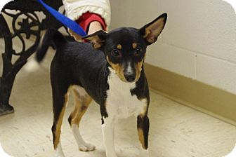 Toy Fox Terrier/Basenji Mix Puppy for adoption in Elyria, Ohio - Luna