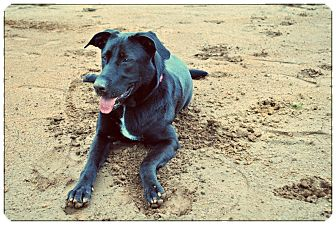 Labrador Retriever Mix Dog for adoption in Manassas, Virginia - Lexi