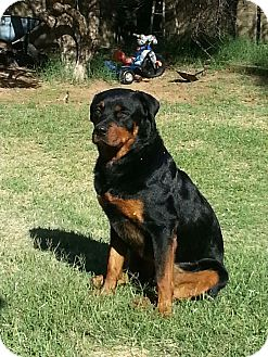 Rottweiler Dog for adoption in Gilbert, Arizona - Kingston