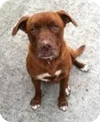 American Bulldog/Boxer Mix Dog for adoption in Staunton, Virginia - Annabell (Adoption fee $200)