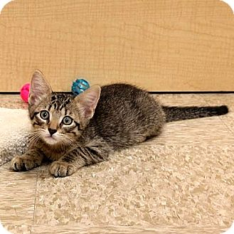 Domestic Shorthair Kitten for adoption in Columbia, Illinois - Coco