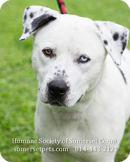 Husky/Labrador Retriever Mix Dog for adoption in Somerset, Pennsylvania - Zed