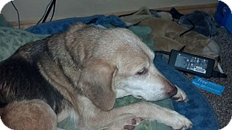 Beagle/Hound (Unknown Type) Mix Dog for adoption in Indianapolis, Indiana - Abby