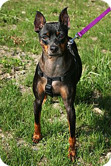 Miniature Pinscher Mix Dog for adoption in Bellingham, Washington - Angus
