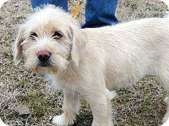 Golden Retriever/Poodle (Standard) Mix Puppy for adoption in Salem, New Hampshire - PARKER