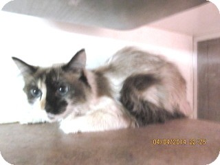 Ragdoll Cat for adoption in Phoenix, Arizona - Gizzma