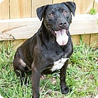Labrador Retriever/American Staffordshire Terrier Mix Dog for adoption in Jackson, Mississippi - Duke