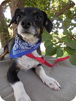 Terrier (Unknown Type, Medium) Mix Dog for adoption in Elk Grove, California - STRYKER