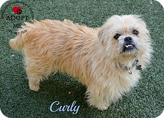 Cairn Terrier/Shih Tzu Mix Dog for adoption in Youngwood, Pennsylvania - Curly