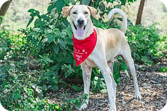Labrador Retriever Mix Dog for adoption in Victoria, British Columbia - Amigo