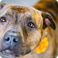 Adopt A Pet :: Jillybean - Seattle, WA