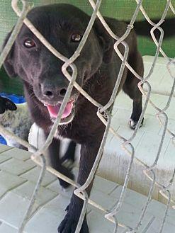Retriever (Unknown Type)/Border Collie Mix Dog for adoption in Pembroke, Georgia - Anita