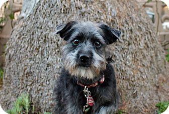 Schnauzer (Miniature)/Yorkie, Yorkshire Terrier Mix Dog for adoption in Los Angeles, California - Sweet Caroline - 10 pounds