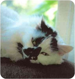 Domestic Mediumhair Cat for adoption in Rolling Hills Estates, California - Maybelline