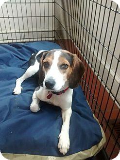 Beagle/Jack Russell Terrier Mix Dog for adoption in Media, Pennsylvania - Gunner