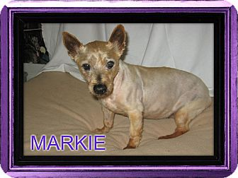 Yorkie, Yorkshire Terrier/Terrier (Unknown Type, Small) Mix Dog for adoption in Port Clinton, Ohio - MARKIE