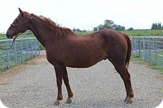 Quarterhorse Mix for adoption in Oakdale, California - Sonny