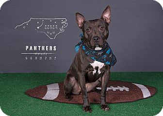 American Pit Bull Terrier Mix Dog for adoption in Charlotte, North Carolina - Juno