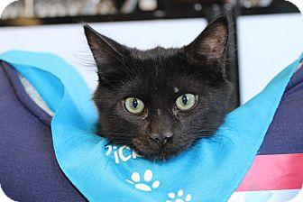 Domestic Mediumhair Kitten for adoption in Las Vegas, Nevada - COAL