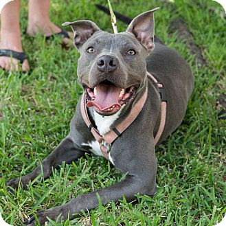 Pit Bull Terrier Mix Dog for adoption in Houston, Texas - Gracie Lou