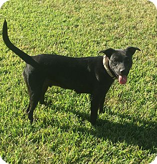 Labrador Retriever/American Staffordshire Terrier Mix Dog for adoption in Tomball, Texas - Sealy