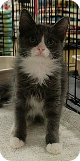 Domestic Mediumhair Kitten for adoption in Sacramento, California - Tootsie Roll