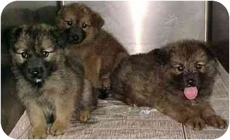 German Shepherd Dog Mix Puppy for adoption in North Judson, Indiana - 3 Shep+ pups