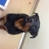 Rottweiler Dog for adoption in Stafford, Virginia - Anubie