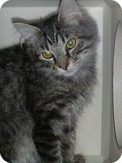Domestic Mediumhair Cat for adoption in Hamburg, New York - Ringo