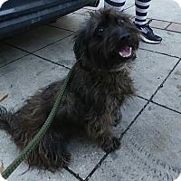 Adopt A Pet :: Scotty - West Warwick, RI