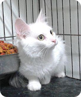 Domestic Longhair Cat for adoption in Lexington, Missouri - Miss Kitty