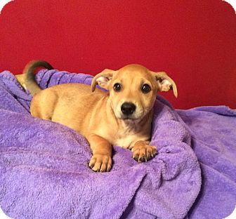 Corgi Mix Puppy for adoption in Acworth, Georgia - Mango