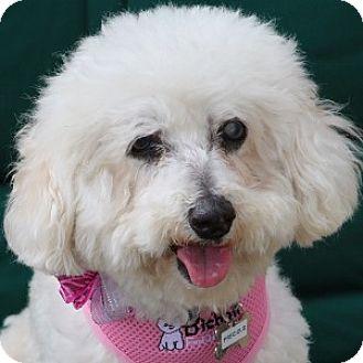 Bichon Frise Mix Dog for adoption in La Costa, California - Precious