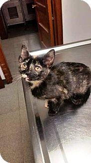 Domestic Shorthair Kitten for adoption in Northfield, Ohio - ELAINE