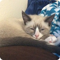 Snowshoe Kitten for adoption in Orange, California - Beckham