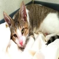 Adopt A Pet :: Pearson - Manteo, NC