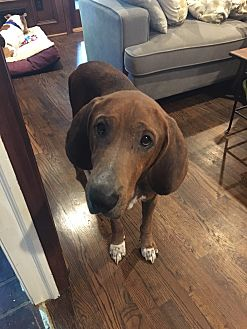 Redbone Coonhound Dog for adoption in Atlanta, Georgia - Jerry