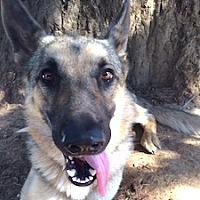 Adopt A Pet :: Sarge - Portland, OR