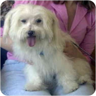 Maltese Dog for adoption in Encino, California - COCO