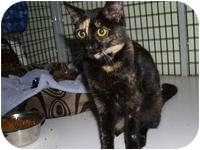 Domestic Shorthair Cat for adoption in Brooksville, Florida - Hannah