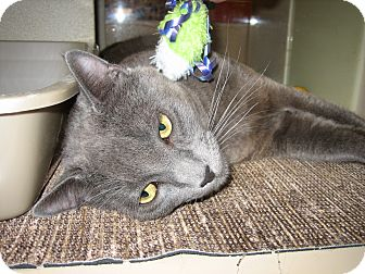 Domestic Shorthair Cat for adoption in Weatherford, Texas - Thunder