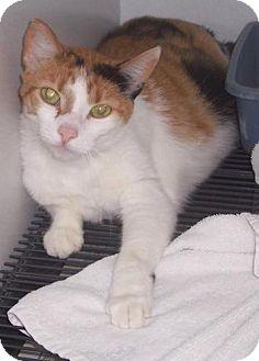 Domestic Mediumhair Cat for adoption in Mt. Vernon, Illinois - Alexis