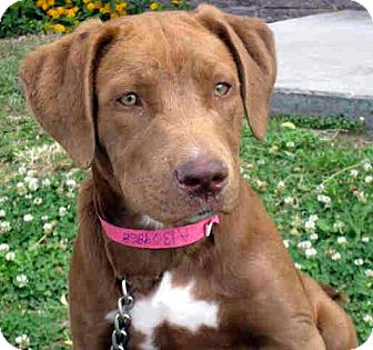 Labrador Retriever/American Pit Bull Terrier Mix Puppy for adoption in Los Angeles, California - Carmen *VIDEO*