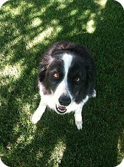 Border Collie Dog for adoption in Carey, Ohio - Josie