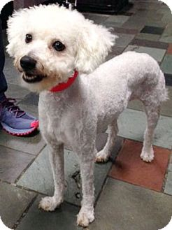 Bichon Frise Dog for adoption in Cranford, New Jersey - Angie