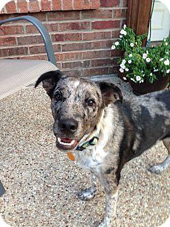 Catahoula Leopard Dog Mix Dog for adoption in McKinney, Texas - Storm