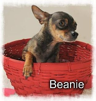 Chihuahua Dog for adoption in Crandall, Georgia - Beanie